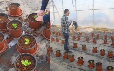 Foram iniciados os ensaios em vasos dos solos agrícolas da Sierra Minera de Cartagena-La Unión para determinar a transferência de metais do solo para a planta.
